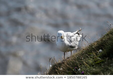 Inquisitive Seagull Stock photo © Kacpura