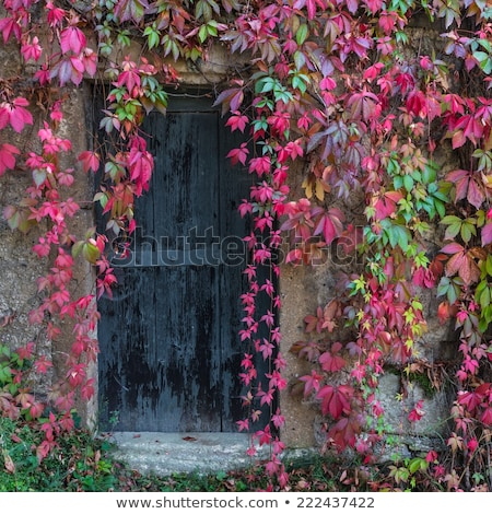 vintage door and overgrown plant Stock photo © sirylok