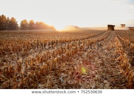 Borosta mező naplemente izzó ősz égbolt Stock fotó © rogerashford
