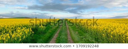 golden field of rapeseeds stock photo © lypnyk2