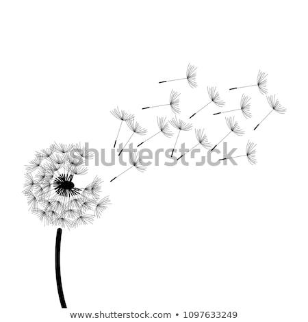 dandelion white flower to blow and make a wish Stock photo © lunamarina