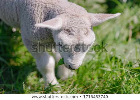 jovem · cordeiro · fazenda · imagem - foto stock © cynoclub