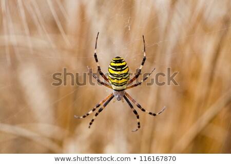 spider (Argiope bruennichi) isolated on  white Stock photo © Zhukow