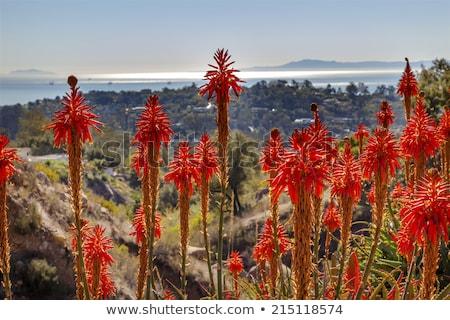 Orange Aloe Cactus Morning Pacific Ocean Landscape Oil Platforms Stock photo © billperry