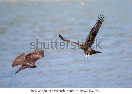 black kite milvus migrans in flight stock photo © davemontreuil