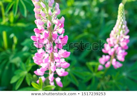 Beautiful Pink lupin Stock photo © Es75