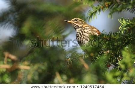 Branche rouge nature oiseau ailes faune Photo stock © chris2766
