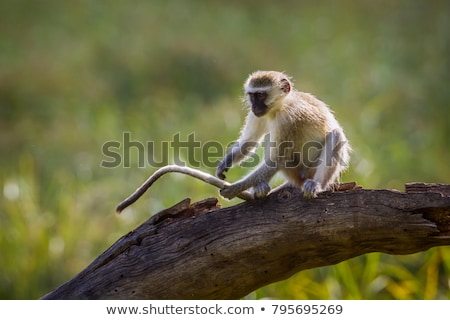 обезьяны · сидят · дерево · ЮАР · волос · черный - Сток-фото © fouroaks