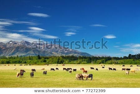 New Zealand Cattle Stock photo © rghenry