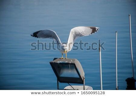 Gabbiano atterraggio grazioso terra uccello mangiare Foto d'archivio © smithore