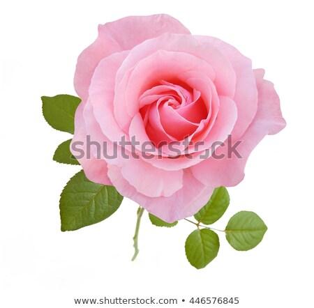 Krém rózsaszín rózsák keret szépség rügy Stock fotó © zhekos