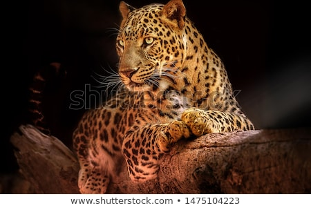 primo · piano · Leopard · pelliccia · interessante · texture · moda - foto d'archivio © art9858