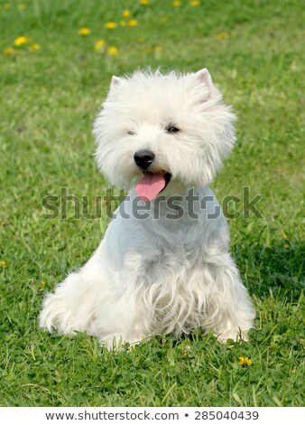 Typical West Highland White Terrier in the garden Stock photo © CaptureLight