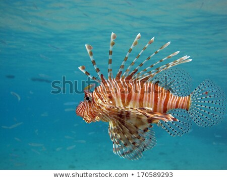 Beautiful red lionfish Pterois volitans Stock photo © creisinger