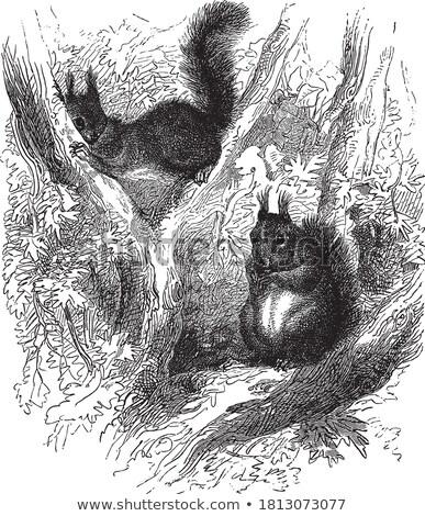 Squirrel or Sciuridae, illustration Stock photo © Morphart
