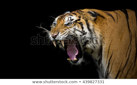 Tigre blanc noir dessin illustration vecteur Photo stock © derocz