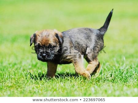 puppy border terrier stock photo © phbcz