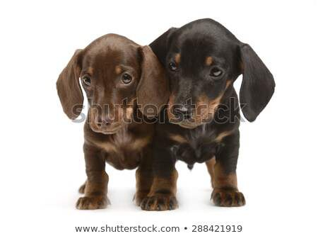 Twee puppy kant witte studio gelukkig Stockfoto © vauvau