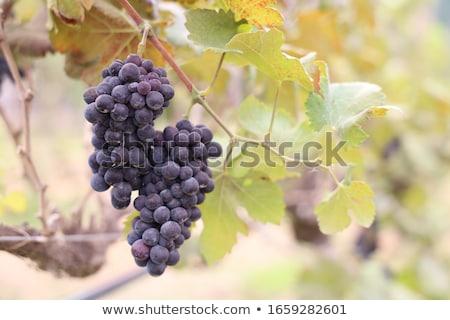 Vineyard - Vines growing grapes Stock photo © lovleah