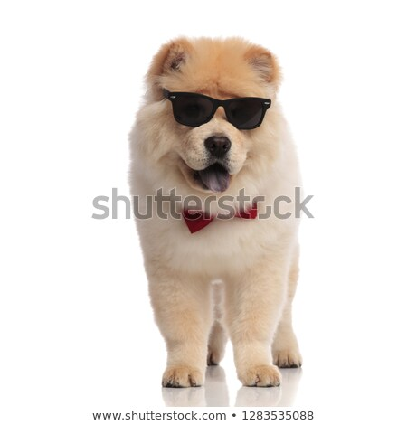 elegant chow chow wearing sunglasses stands with tongue exposed Stock photo © feedough