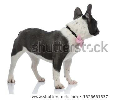 french bulldog looking back wearing a pink bowtie stock photo © feedough