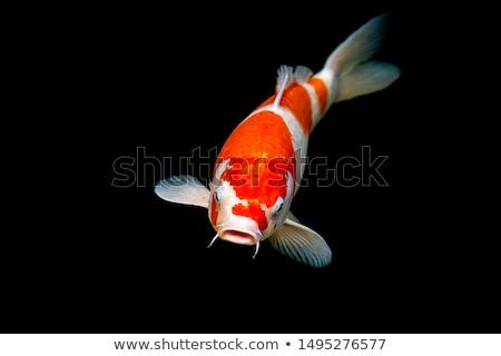 Koi vis vijver luchtfoto illustratie natuur Stockfoto © colematt