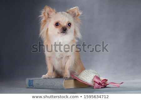 Stock photo: chihuahua and book