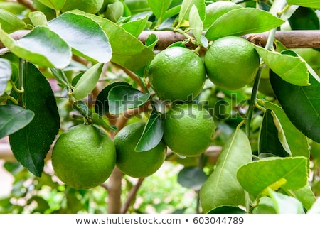 Green limes on a tree. Lime is a hybrid citrus fruit, which is typically round, about 3-6 centimeter Stock photo © galitskaya