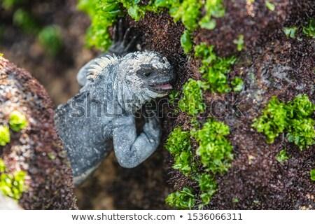 galapagos marine iguana eating marine algae growing on rocky shores stock photo © maridav