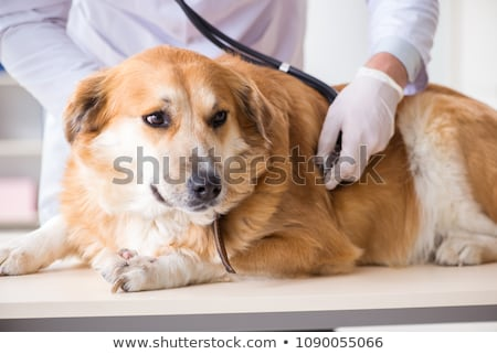 Doctor and assistant checking up golden retriever dog in vet cli Stock photo © Elnur