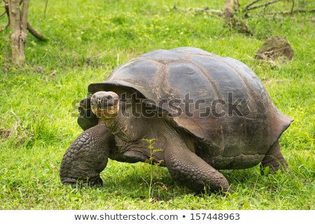 dev · kaplumbağa · Ekvador · güney · amerika · gıda - stok fotoğraf © photoblueice