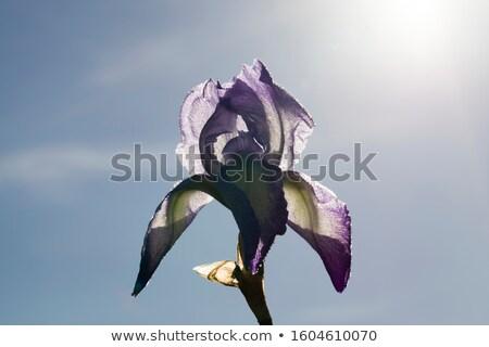 Iris · fiore · di · campo · verde · impianto · bianco · prato - foto d'archivio © sahua