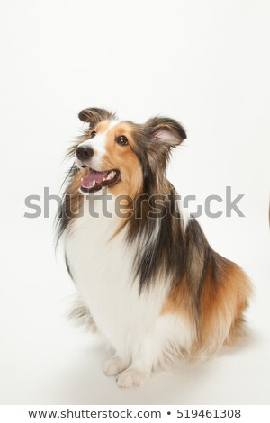 Occidental perro blanco funny ropa sombrero Foto stock © Shevs