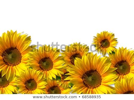 Napraforgó fehér kert nyár olaj napsütés Stock fotó © visdia