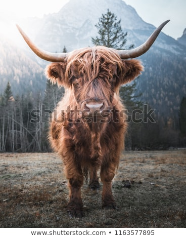 colorful highland cattle stock photo © hofmeester