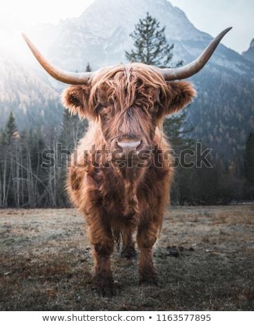 sığırlar · atış · çim · doğa - stok fotoğraf © hofmeester
