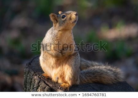 Fox Squirrel Stock photo © devon