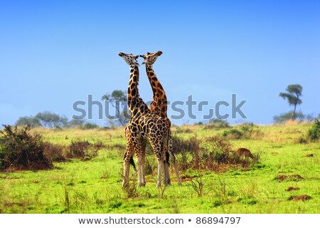 fighting giraffes in uganda stock photo © prill