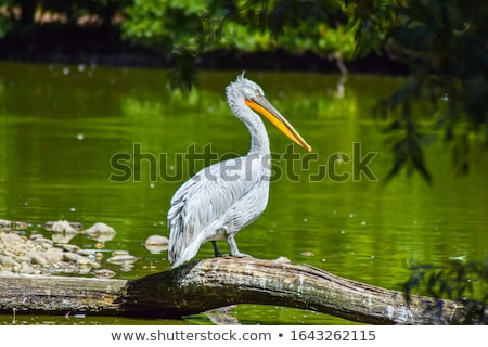 A majestic Dalmatian pelican Stock photo © Witthaya