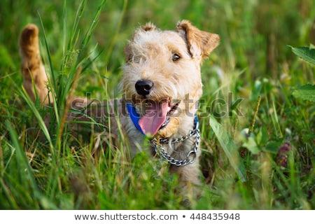 Terrier grama verde jardim verde belo mostrar Foto stock © CaptureLight