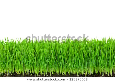 Green  Grass with Fertile Soil and Drops Dew  Stock photo © Taiga