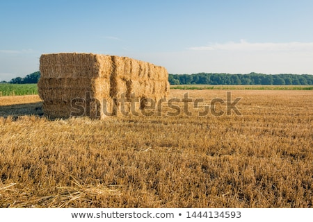 Stok fotoğraf: Stacked Bales Of Straw On The Mown Field