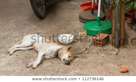 Dog on chain with lock, prevention from stealing for consumption Stock photo © michaklootwijk