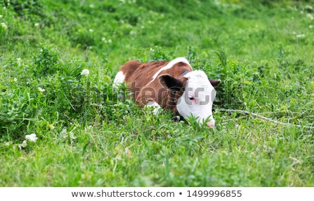 cute little calf lying on pasture Stock photo © goce