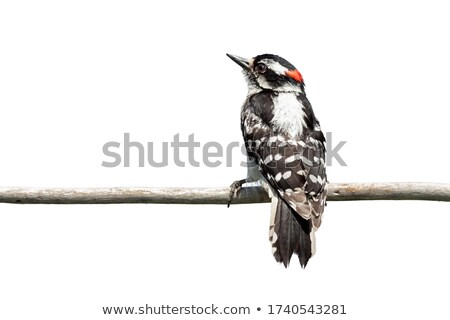 Hanging Downy Woodpecker