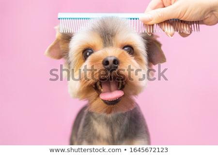 Grooming the dog stock photo © buchsammy