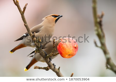 waxwings resting in a tree branch stock photo © nobilior