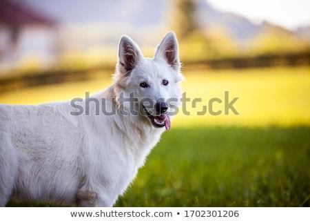 portrait of white swiss shepherd dog in the garden stock photo © capturelight