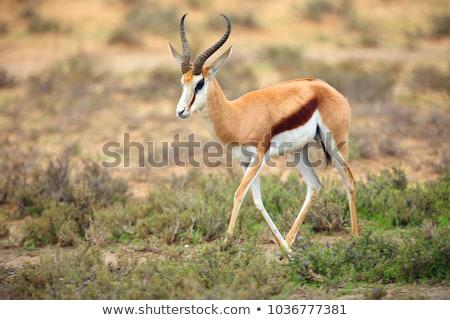 safari · park · Namibya · doğa · seyahat · et - stok fotoğraf © dirkr