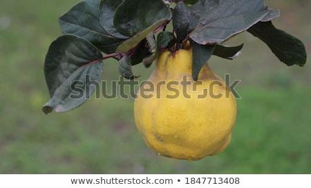 Coing branche fruits verger rétro organique Photo stock © stevanovicigor